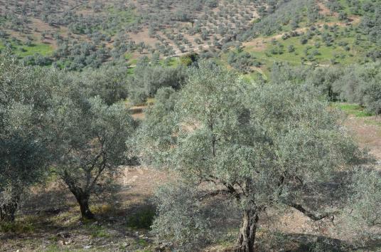 Selçuk Şirince Değirmenboğazında Satılık Zeytin ve İncir Bahçesi