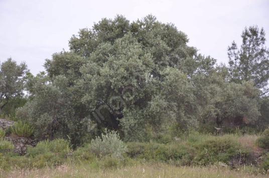 Selçuk Şirincede Satılık 34 dönüm İncir, Zeytin Ve Meyve Bahçesi - undefined