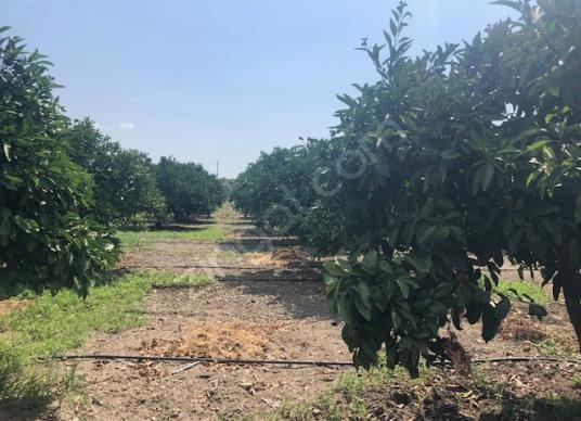307-bakımlı mandalina bahçesi - Arsa