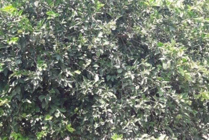 Erdemli Tömükte  Satılık Limon Bahcesi