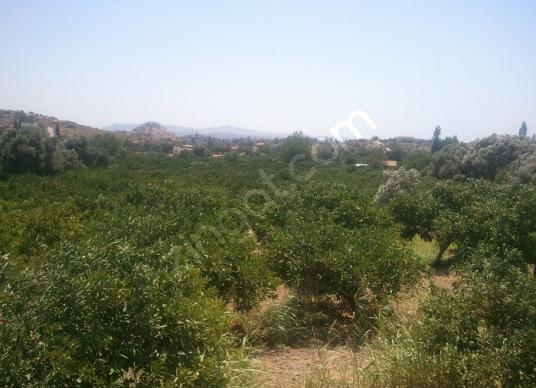 seferihisar sığacıkta bakımlı mandalina bahçesi ref no 302 - Arsa