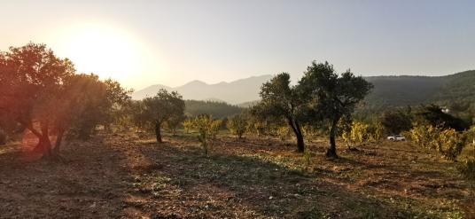 Kemalpaşa Dereköyde emsalsiz bakımlı zeytin ve kiraz bahçesi - Arsa