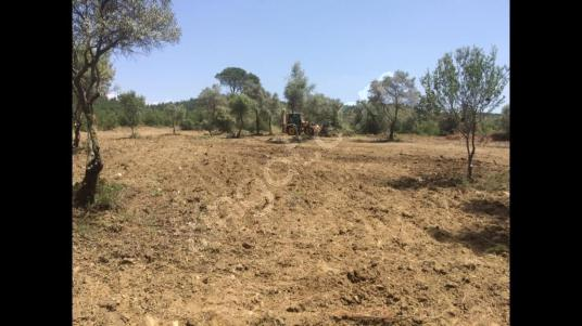 İzmir Torbalı Kavacık Mevkiinde Zeytin Ağaçlı Satılık Tarla - Arsa