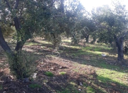 Akhisar Kayalıoğlu'da Satılık Zeytinlik