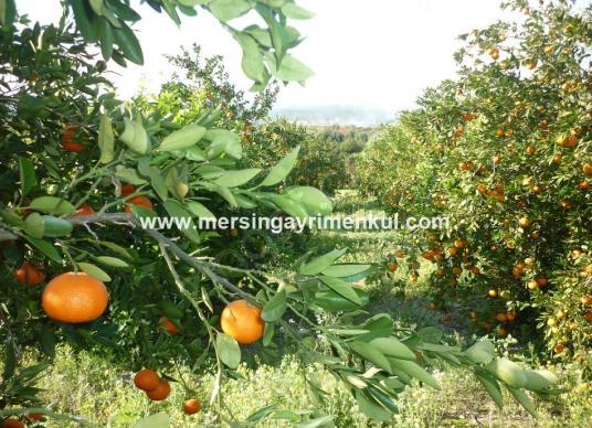 tarsus özlücede satılık mandalina bahçesi