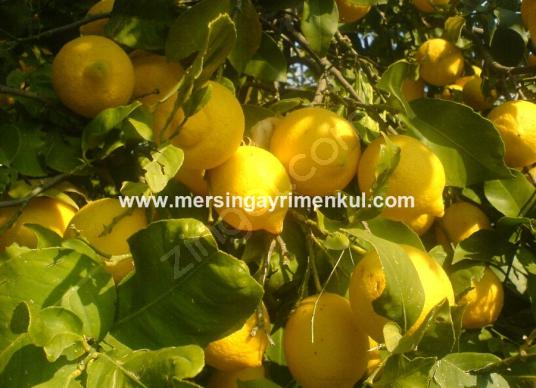 mezitli tecede satılık limon bahçesi