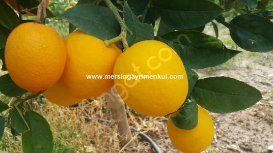 tarsus kocaköyde satılık mayer limon bahçesi