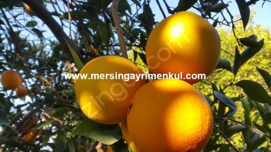 mersin akdam köyünde satılık portakal bahçesi