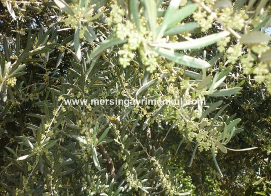 mersin tarsus satılık zeytin bahçesi