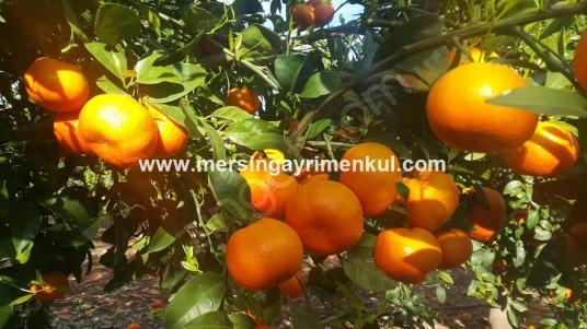 erdemlide satılık w murcot mandalin bahçesi