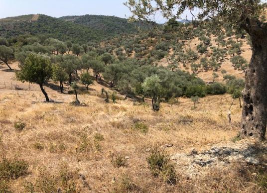 118-köy merkezine yakın zeytinlik - Arsa