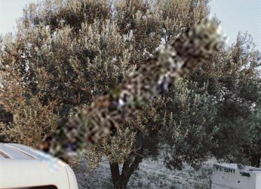 musahoca köyünde asfalt kenarı zeytinlik - Arsa