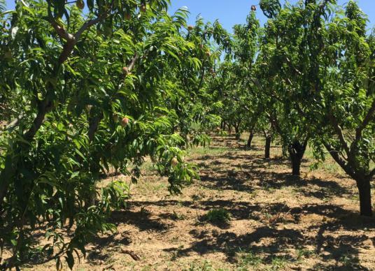 Selçuk'ta Tarımsal Sanayi Yanı 6 Dönüm Meyve Bahçesi - Arsa