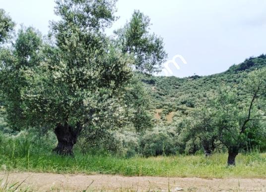 Bergama Sağancı Narlipınar da Satılık Zeytinlik