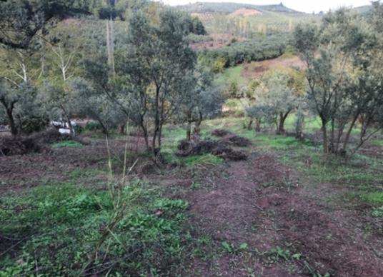 Gemlik Muratoba'da Satılık Zeytinlik - Arsa