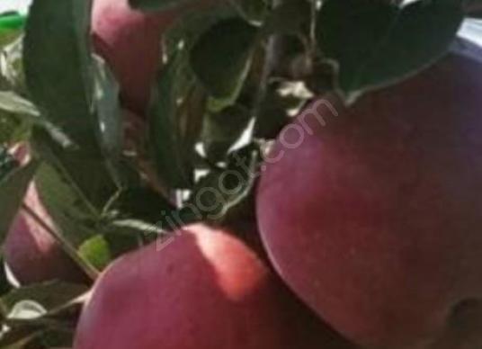 Tekirdağ Hayraboluda 193 Dönüm Satılık Elma Bahçesi - Açık Otopark