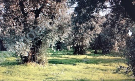 ORHANGAZİ EMLAKTAN ÇAKIRLI MH. 1125 METREKARE ANAYOLDA ZEYTİNLİK