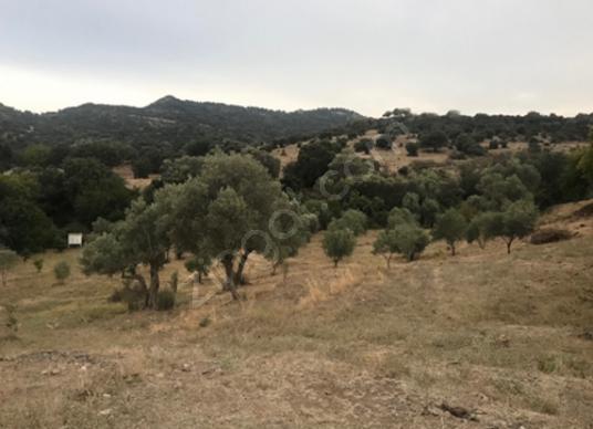 Yakaköy'de Zeytinli Tarla, Villaların Sınırında - Arsa