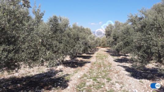 Seydikemer Paşalı'da10500Dönüm 500adet zeytin Bahçesi satılıktır