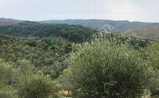 Seferihisar'a 3 km uzaklıkta ZEYTİNLİK - Manzara