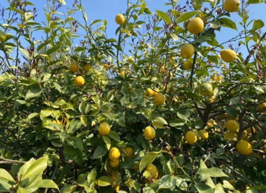 Silifke Atayurt'ta Satılık 596 m2 Limon Bahçesi ! - undefined