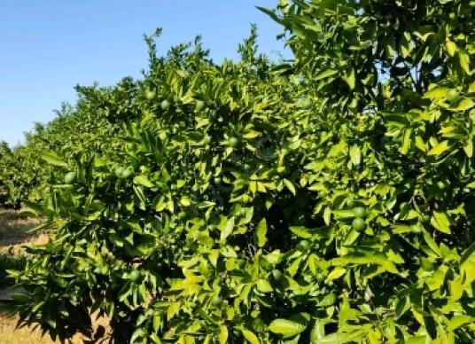 Seferihisar Camikebir'de Satılık MANDALİN LİK - Bahçe
