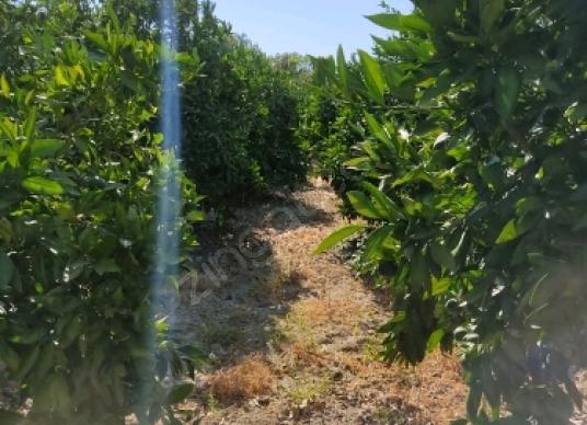 Seferihisar Camikebir'de Satılık Bağ - Arsa