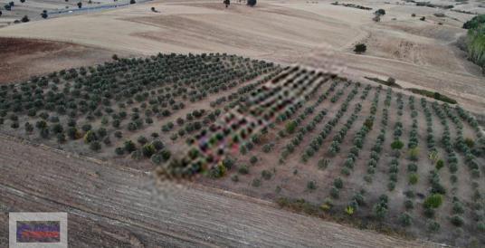 ÖZER'den Hasanbeylide satılık zeytinlik - Arsa