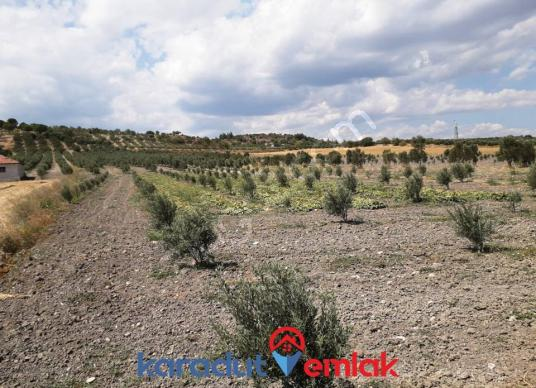 Bergama Kurtuluş Mah. 11.750 M2'lik Kaçırılmayacak Zeytinlik - Arsa