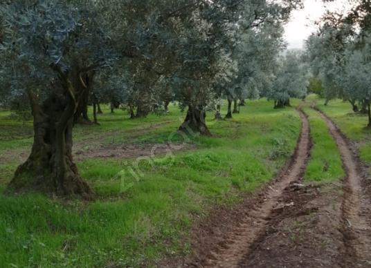 Orhangazi Yeniköy'de Satılık Çok Amaçlı Zeytinlik - Arsa