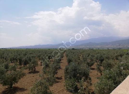 Manisa Salihli'de AntalyaDenizli yolu üzerinde Satılık Zeytinlik - Arsa
