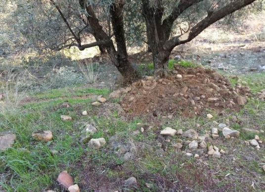 Aydın Karacasu da satılık zeytin bahçesi - Arsa