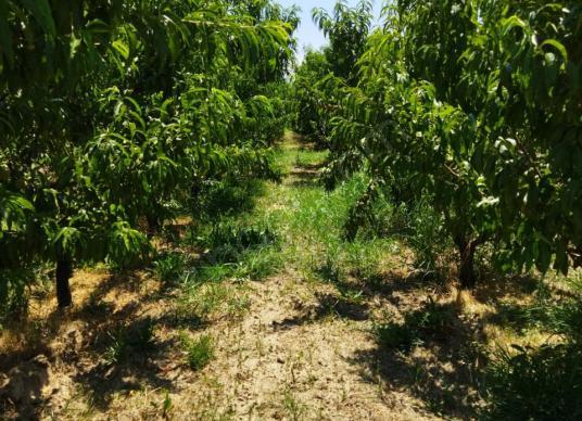 Manisa Saruhanlı Mütevellide Satılık 4 Dönüm Şeftali Bahçesi - Arsa