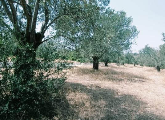 Gömeç Karaağaç'ta Satılık zeytinlik - Arsa