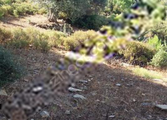 Mumcular mazi köyü alakise mevkisinde satılık tarla - Arsa