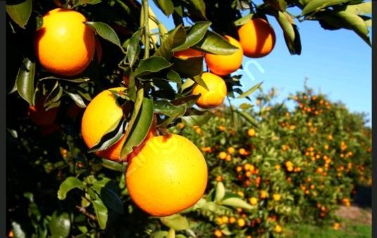 Finike hasyurt'ta satılık portakal bahçesi - undefined