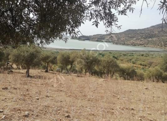 Bafa Gölü Manzaralı Acil Satılık 6.510m2 Zeytinlik - Arsa